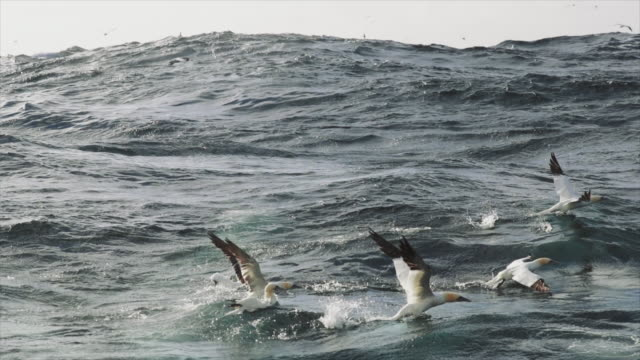 north sea birds diving into the sea: feeding frenzy - gannet stock videos & royalty-free footage