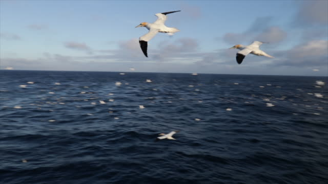 stockvideo's en b-roll-footage met north sea birds diving into the sea: feeding frenzy - meeuw