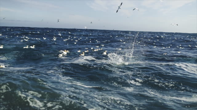 North sea birds diving into the sea: feeding frenzy