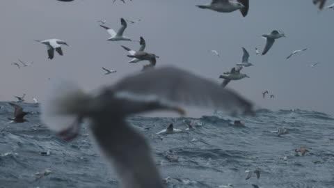 north sea birds feeding frenzy - nordsee stock-videos und b-roll-filmmaterial