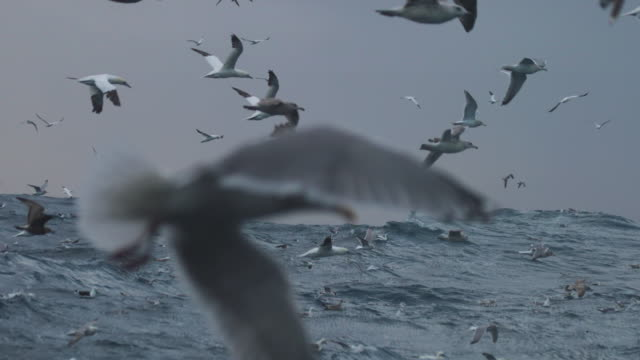 vídeos de stock, filmes e b-roll de north sea birds feeding frenzy - gaivota
