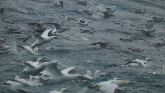 stockvideo's en b-roll-footage met north sea birds feeding frenzy - zeevogel