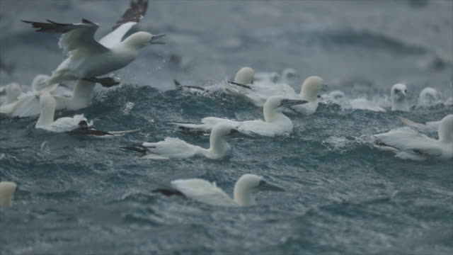 North sea birds feeding frenzy