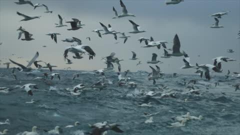 north sea birds feeding frenzy - animals in the wild bildbanksvideor och videomaterial från bakom kulisserna