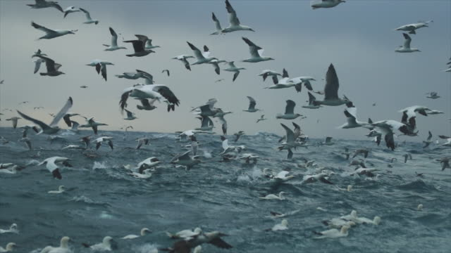 vidéos et rushes de north sea birds feeding frenzy - mouette