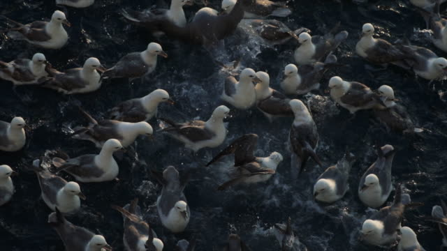North sea fulmar birds feeding frenzy