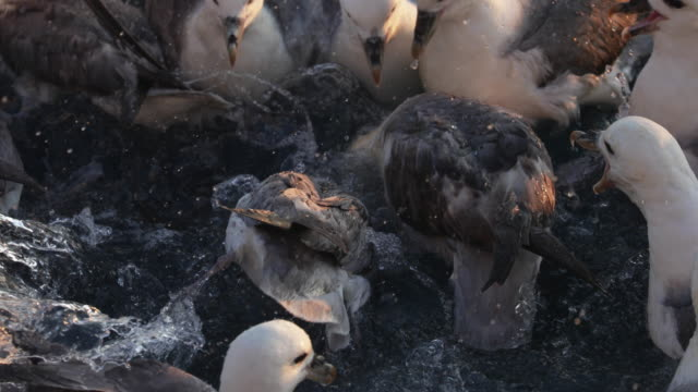 north sea fulmar birds feeding frenzy - sea bird stock videos and b-roll footage