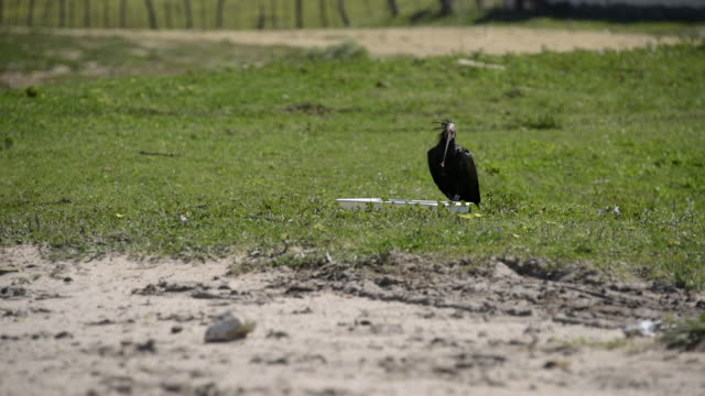 A Northern bald ibis (Geronticus eremita) feeds from a food tray in Cadiz province, Spain.