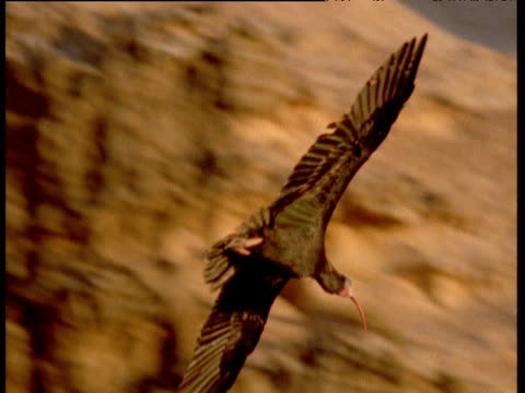 Northern bald ibis glides in and lands on cliff,