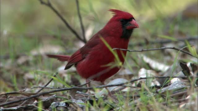 Northern cardinal (Cardinalis cardinalis) forages on ground, Hawaii