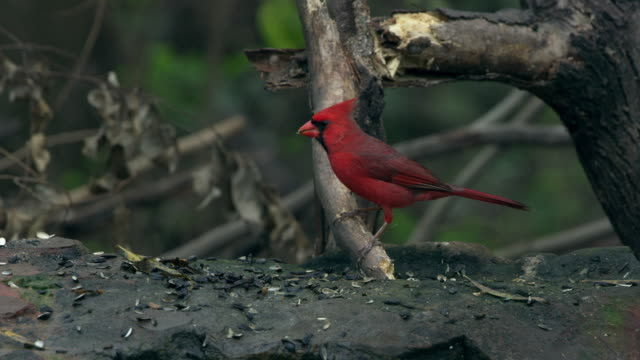 northern cardinal perching on branch - perching stock videos & royalty-free footage