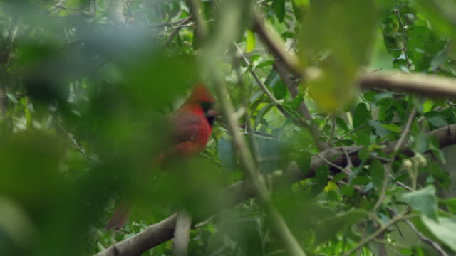 northern cardinal taking off from branch - branch stock videos & royalty-free footage