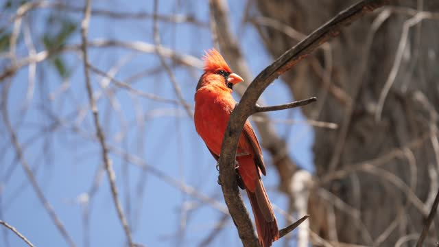 northern cardinal with sound - north america stock videos & royalty-free footage
