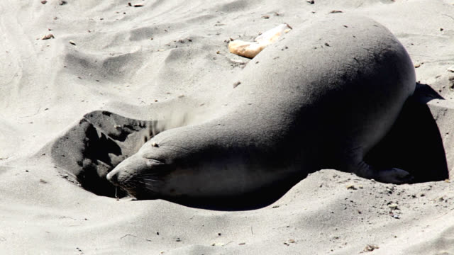northern elephant seal on beach - seal pup stock videos & royalty-free footage