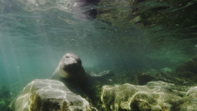 northern elephant seal underwater - northern mexico stock videos & royalty-free footage