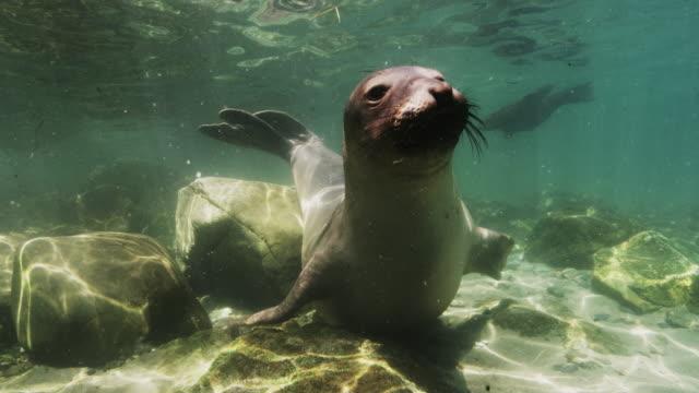 northern elephant seal underwater - sea life stock videos & royalty-free footage