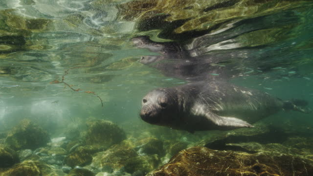 northern elephant seal - northern mexico stock videos & royalty-free footage