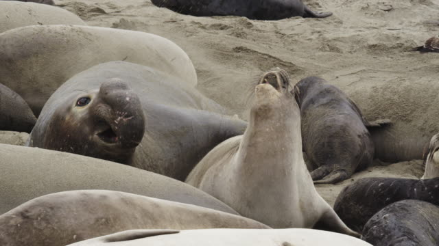 northern elephant seal - elephant seal stock videos & royalty-free footage