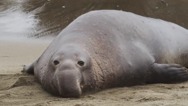 northern elephant seal - elefantsäl bildbanksvideor och videomaterial från bakom kulisserna