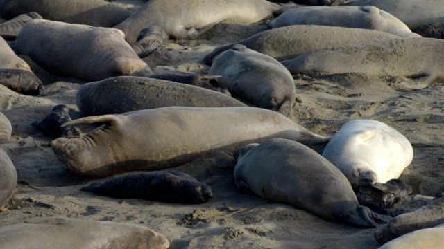 vídeos de stock e filmes b-roll de elefante do norte mirounga angustirostris selos - elefante marinho