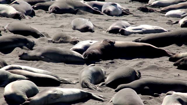 vídeos de stock e filmes b-roll de northern elephant seals on beach - elefante marinho