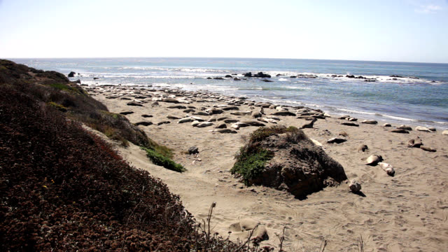 northern elephant seals on beach - seeelefant stock-videos und b-roll-filmmaterial