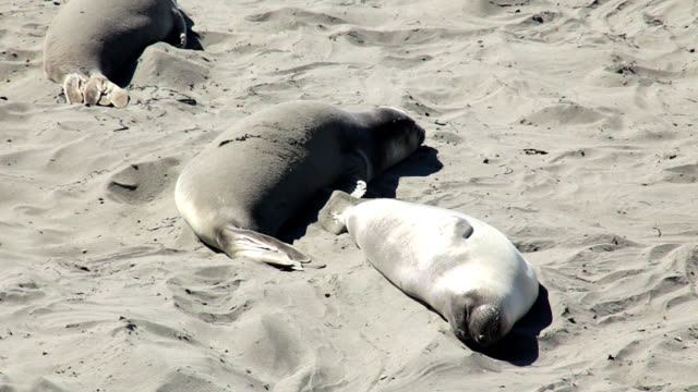 northern elephant seals on beach - living organism stock videos & royalty-free footage