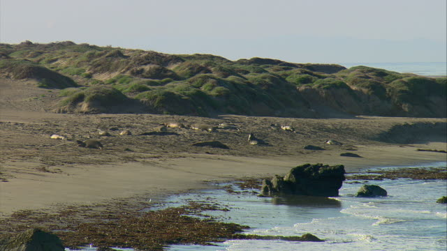 ws northern elephant seals (mirounga angustirostris) on sand near san simeon, california, usa - aquatic organism stock videos & royalty-free footage