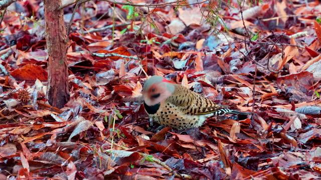 northern flicker bird digging in autumn leaves in forest - flicker bird stock videos & royalty-free footage