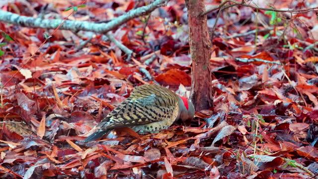 northern flicker bird standing in autumn leaves on forest floor - flicker bird stock videos & royalty-free footage