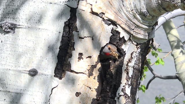 northern flicker, cleaning out nest, spring in yellowstone national park, wyoming - flicker bird stock videos & royalty-free footage