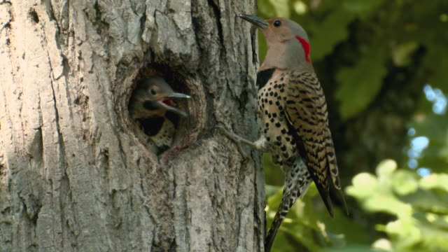 cu northern flicker feeding young in tree cavity / moira river at madoc, ontario, canada - flicker bird stock videos and b-roll footage