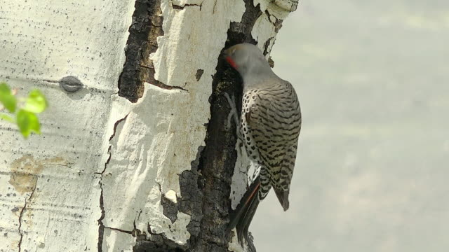 northern flicker making nest hole in aspen, spring in yellowstone national park, wyoming - aspen tree stock videos & royalty-free footage