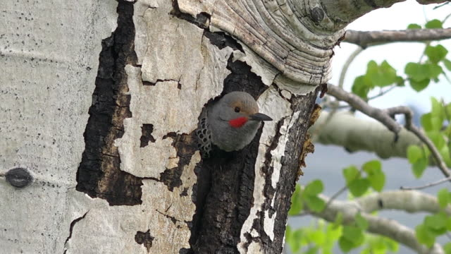 northern flicker sticks head out of nest hole, spring in yellowstone national park, wyoming - flicker bird stock videos & royalty-free footage