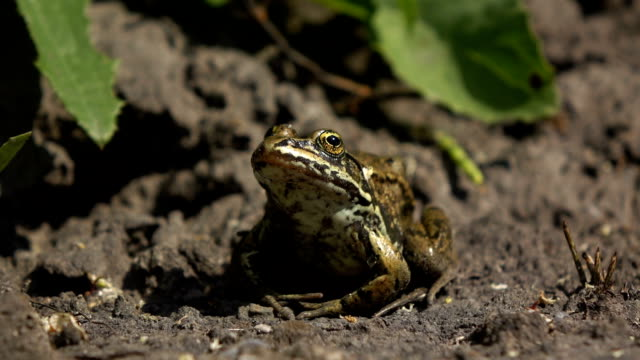 northern frog - endangered species stock videos & royalty-free footage