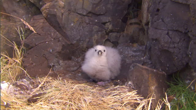 vídeos de stock e filmes b-roll de a northern fulmar chick spits and flaps its wings in fear. - ave marinha