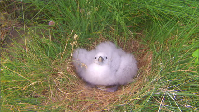 vídeos de stock e filmes b-roll de a northern fulmar chick spits from its grassy nest in iceland. - ave marinha