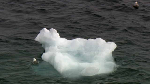 vidéos et rushes de ms zo northern fulmars (fulmarus glacialis) swimming near ice floe on sea, lancaster sound, nunavut, canada - organisme aquatique