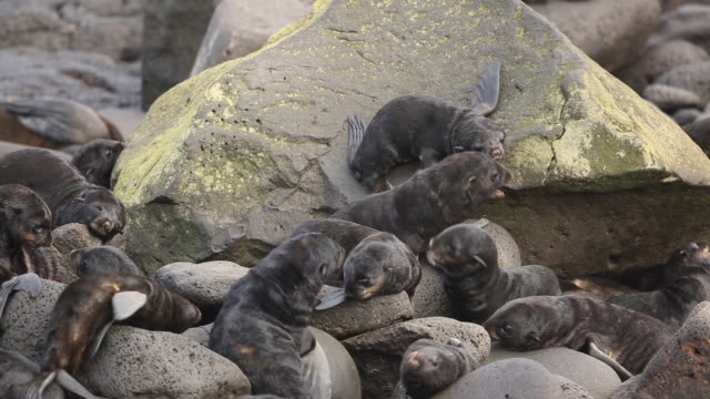 northern fur seal pups, pribilof islands - seal pup stock videos & royalty-free footage