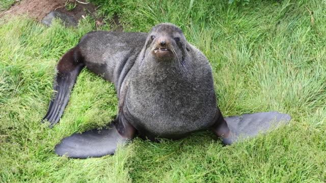 vídeos y material grabado en eventos de stock de northern fur seal roaring at camera - foca peluda
