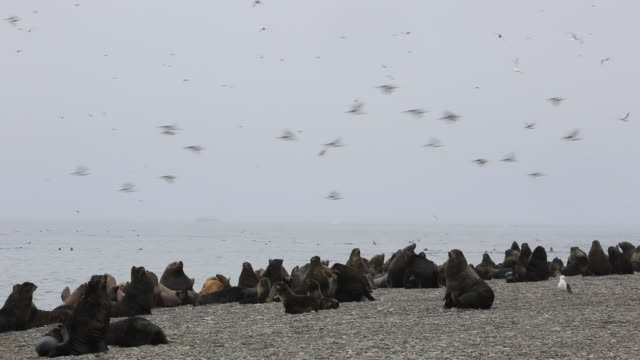 Northern Fur Seals, Tyuleny Island