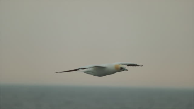 northern gannet bird behavior and fishing - catching stock videos & royalty-free footage