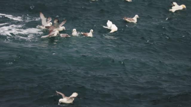 northern gannet bird behavior and fishing - northern gannet stock videos & royalty-free footage