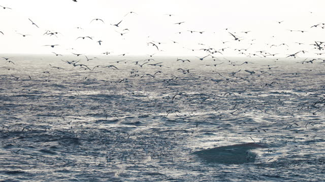 northern gannet bird: dive bomb feeding frenzy behavior - northern gannet stock videos & royalty-free footage