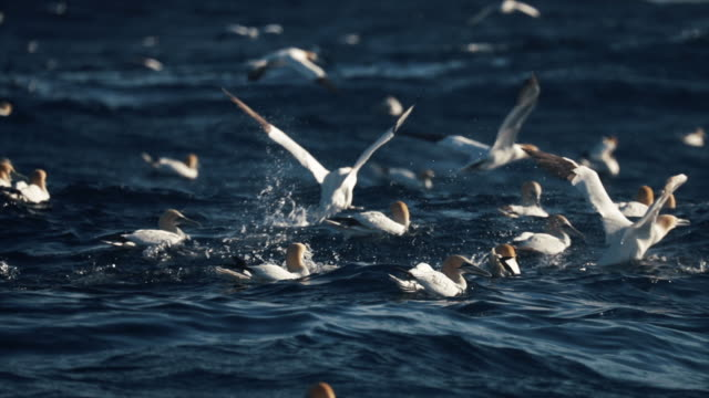 northern gannet bird: dive bomb feeding frenzy behavior - documentary footage stock videos & royalty-free footage