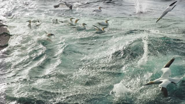 northern gannet bird: feeding frenzy behavior - undersea stock videos & royalty-free footage