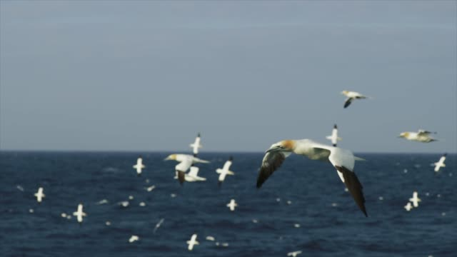 vídeos de stock e filmes b-roll de northern gannet bird: feeding frenzy behavior - apanhar comportamento animal
