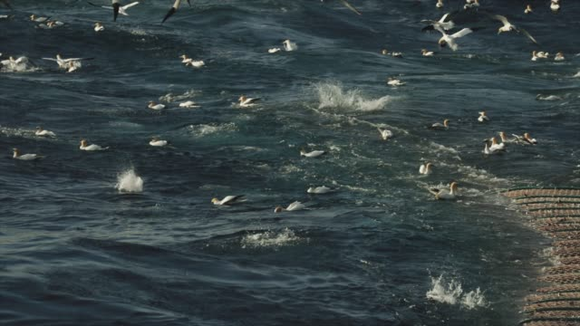 Northern gannet bird: feeding frenzy behavior