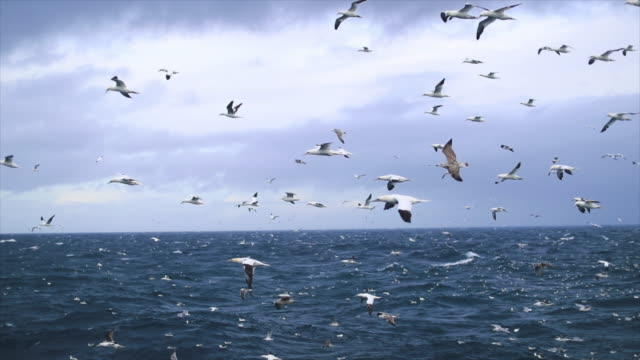 northern gannet bird: feeding frenzy behavior - ocean tide stock videos & royalty-free footage