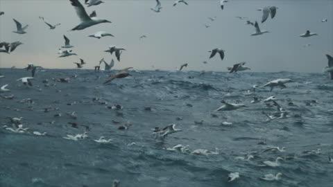 havssula fågel: feeding frenzy beteende - animals in the wild bildbanksvideor och videomaterial från bakom kulisserna